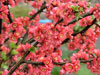 03 Flowering Peach