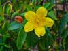 08 Yellow Jasmine